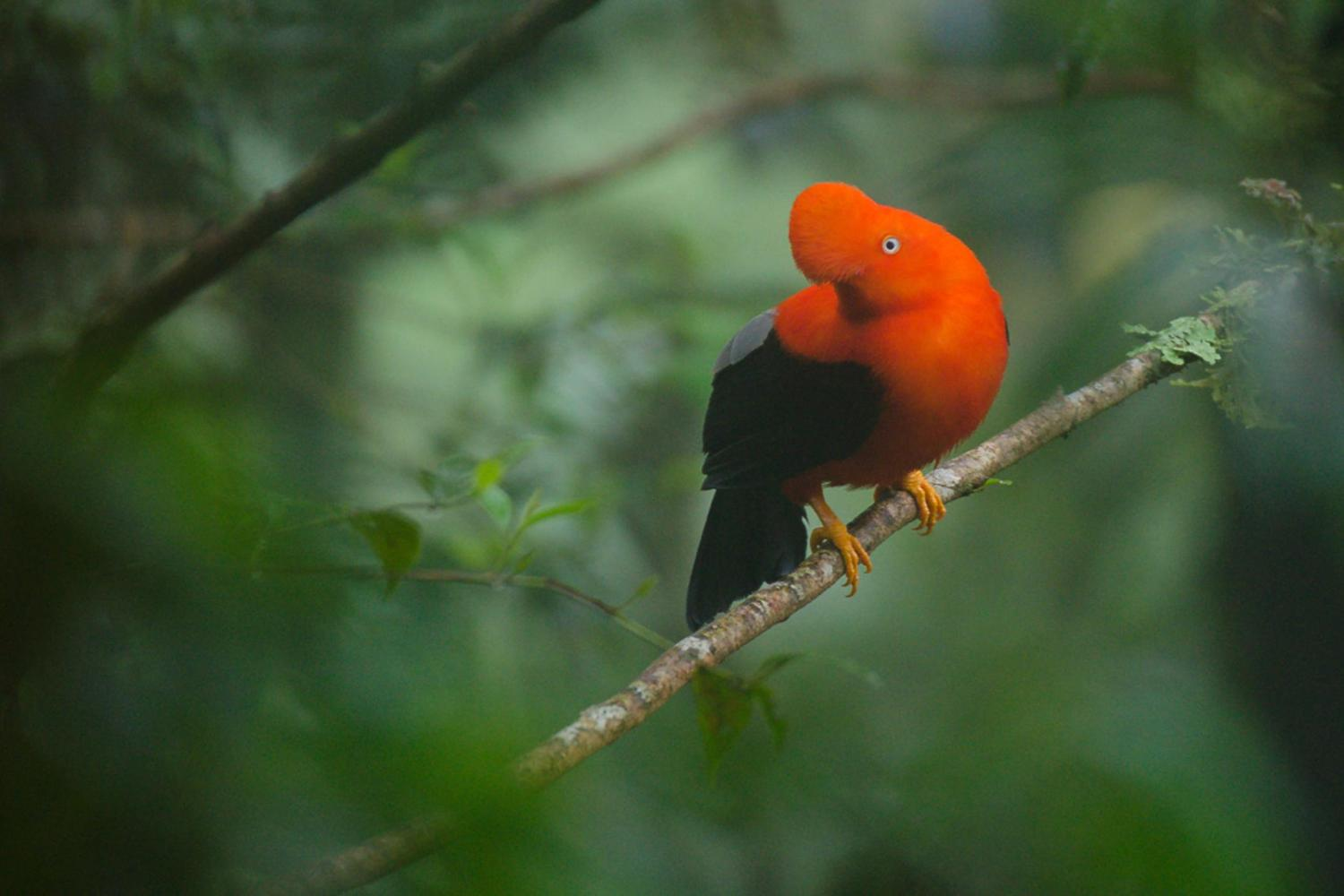 Peru's national bird, the Cock of the Rock, is often seen in Manu's cloudforest