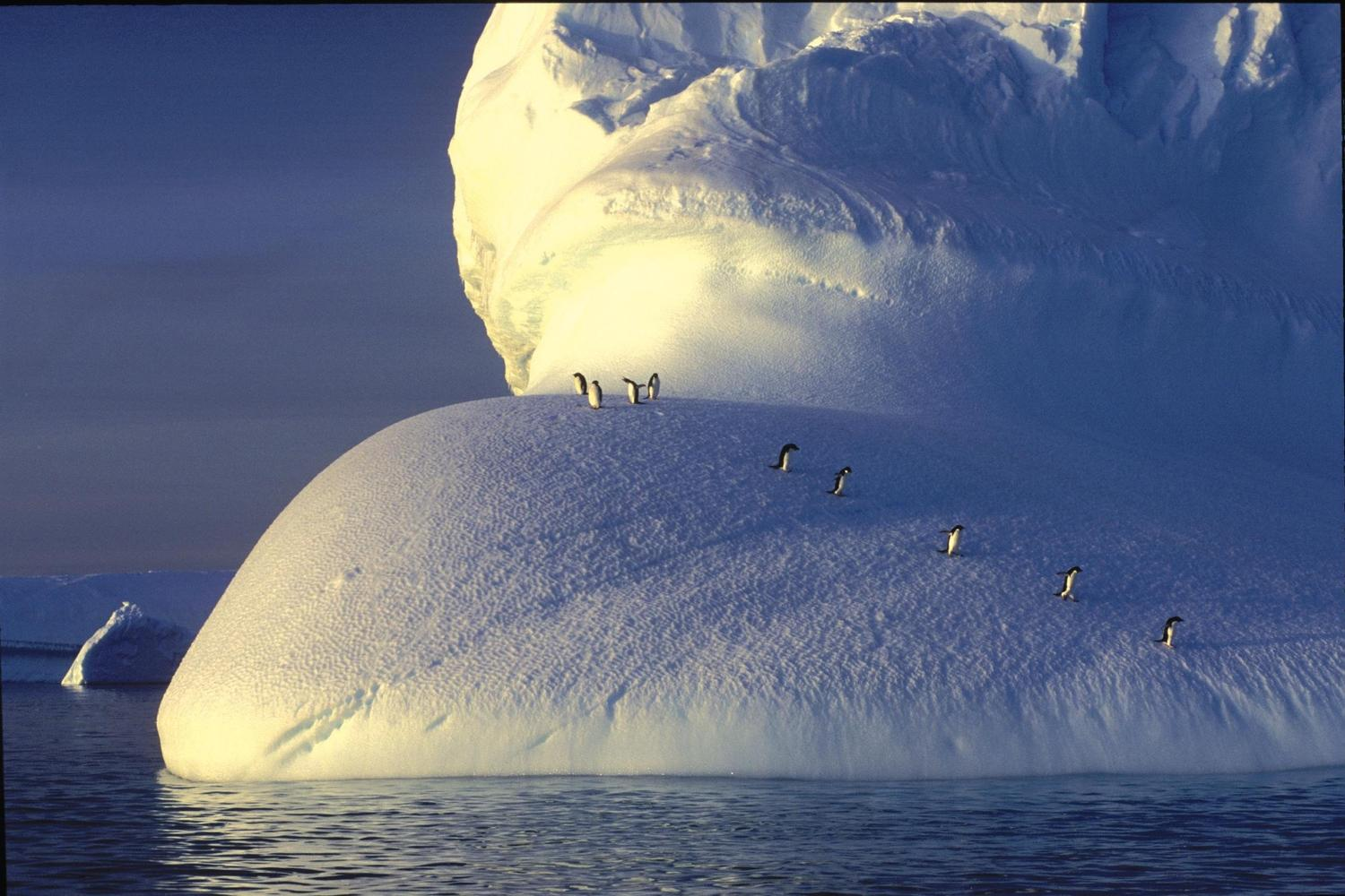 Penguins trooping off an iceberg