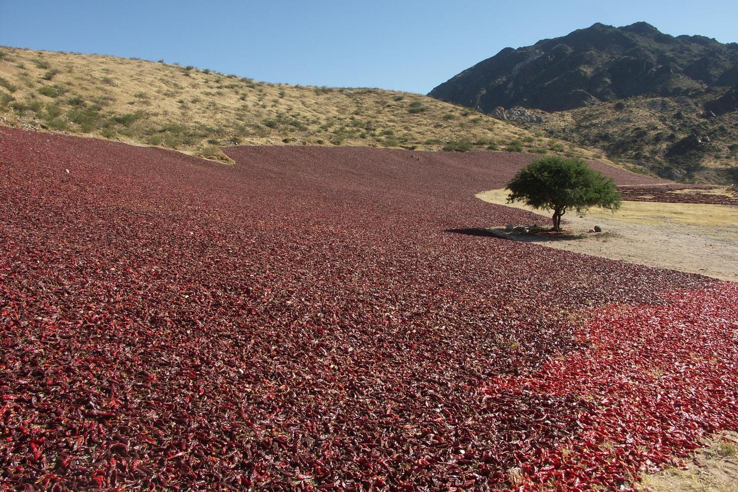 Drying peppers in Argentina's north west region