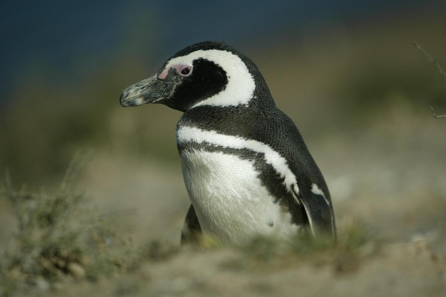 Punta Tombo is a great place for wildlife spotting
