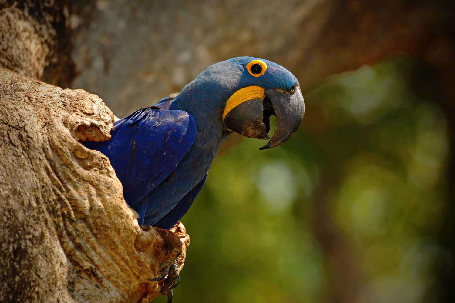 Big blue parrot hyacinth macaw in a tree nest cavity in Pantanal