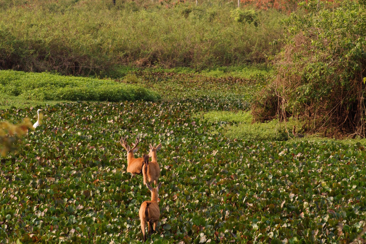 Deer crossing the marshland in the Pantanal