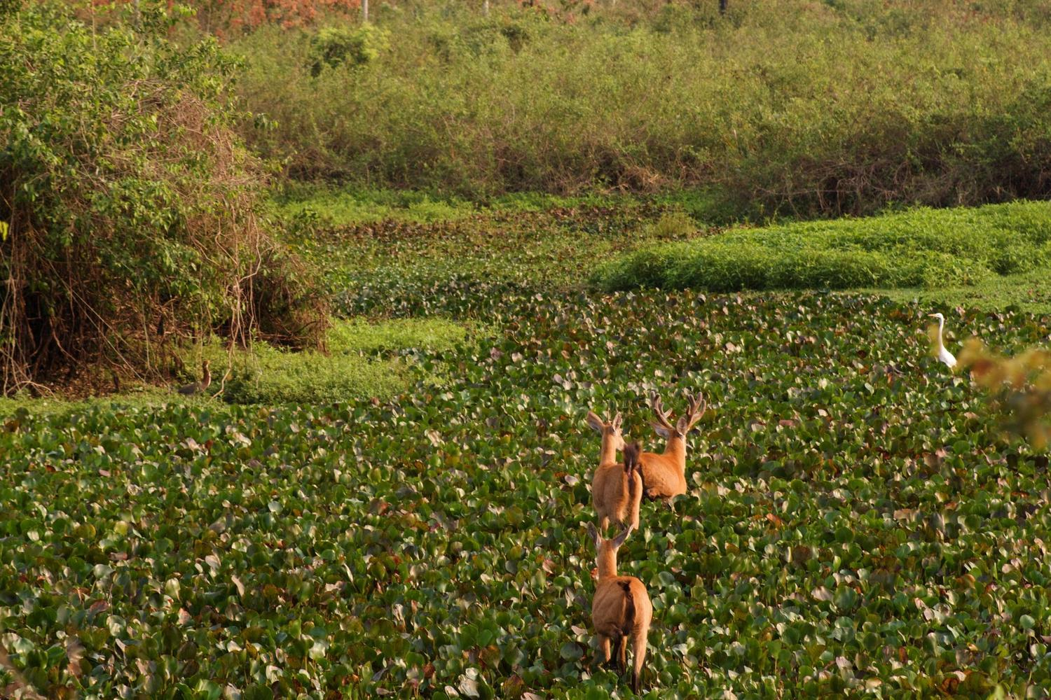 Deer crossing the wetlands of the Pantanal in Brazil