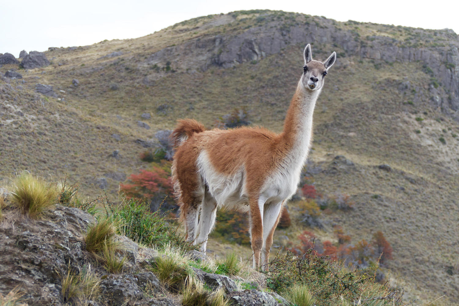 A male guanaco assuming a dominant position