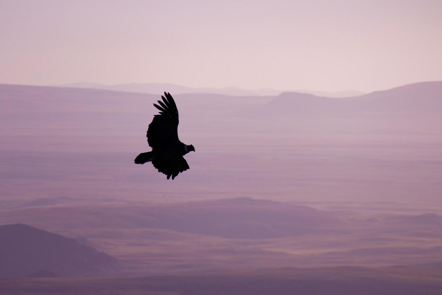 Condor in the early morning light