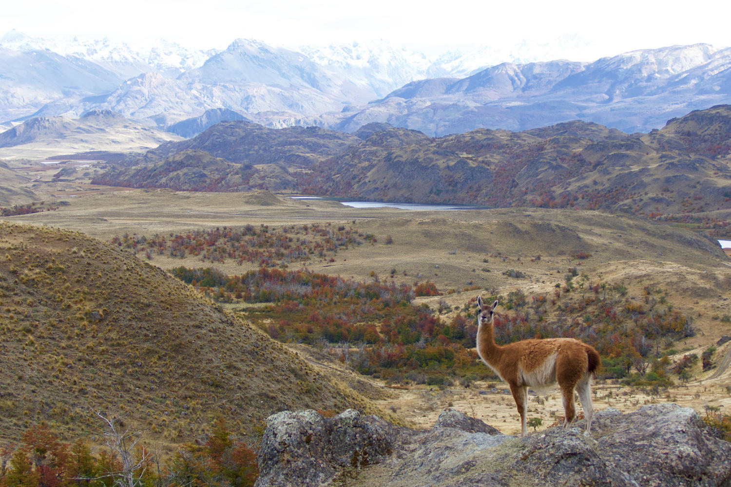A guanaco in front of the Chacabuco Valley and the future Parque Patagonia