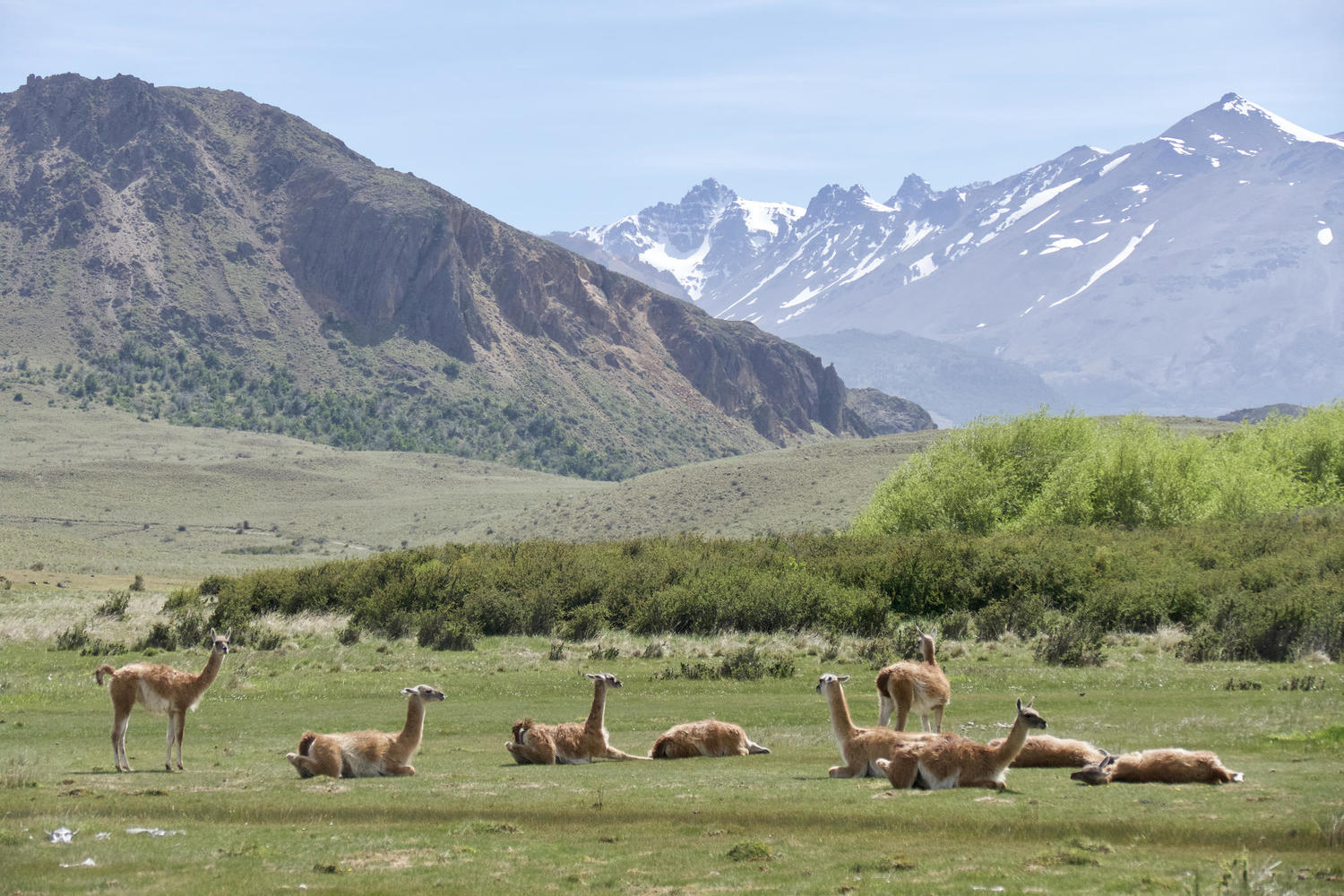 A herd of guanacos in the heart of Parque Patagonia