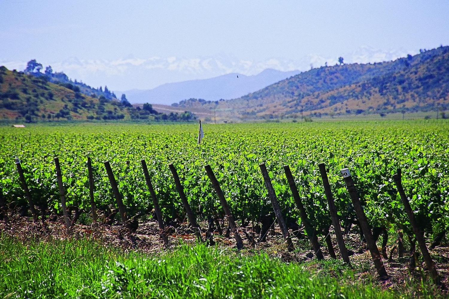 Looking out from Colchagua Valley's vineyards towards the Andes