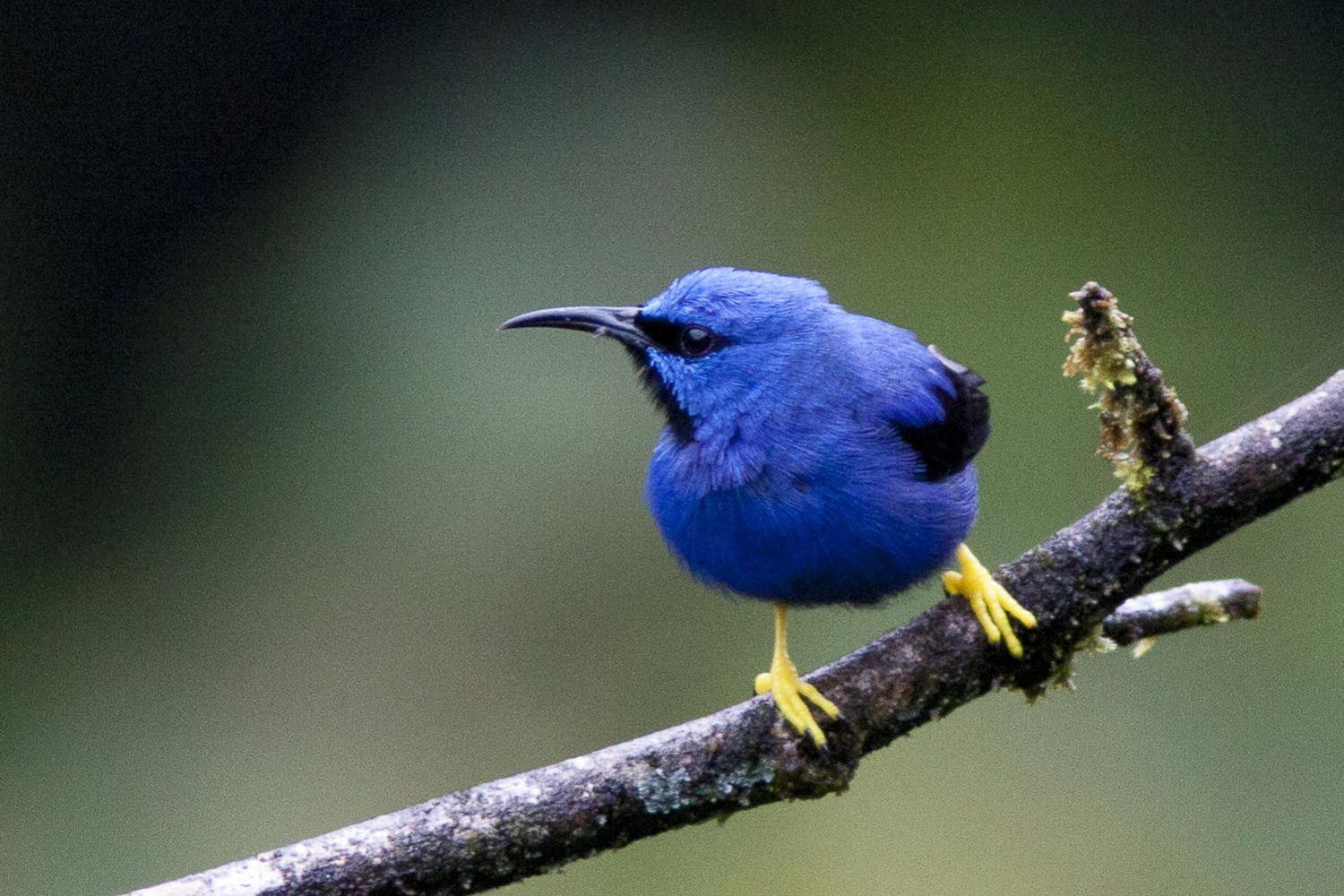 A shining honeycreeper perches on a branch in the San Gerardo cloudforest