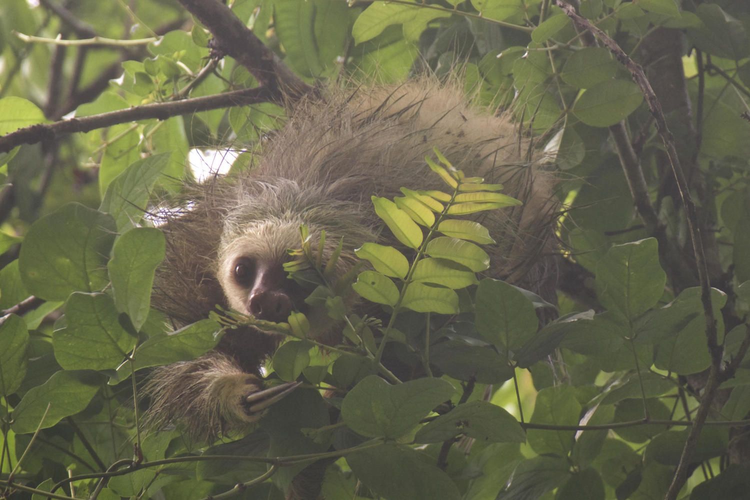 A two-toed sloth peers through the foliage in Cahuita