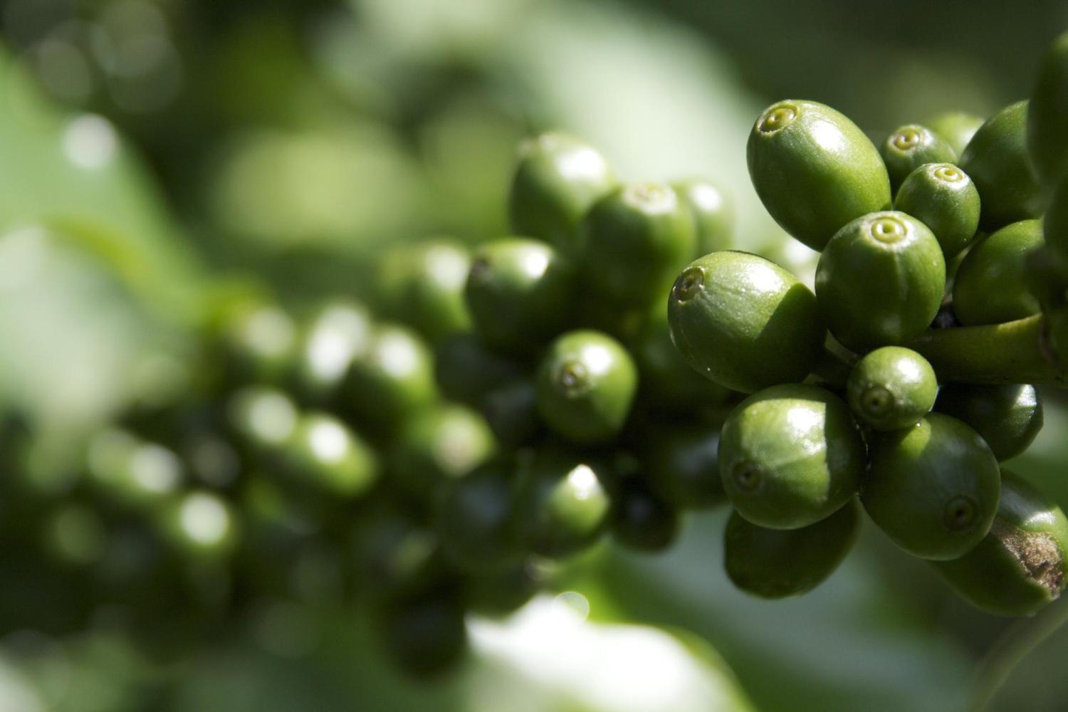 Coffee beans growing in Costa Rica's Central Valley
