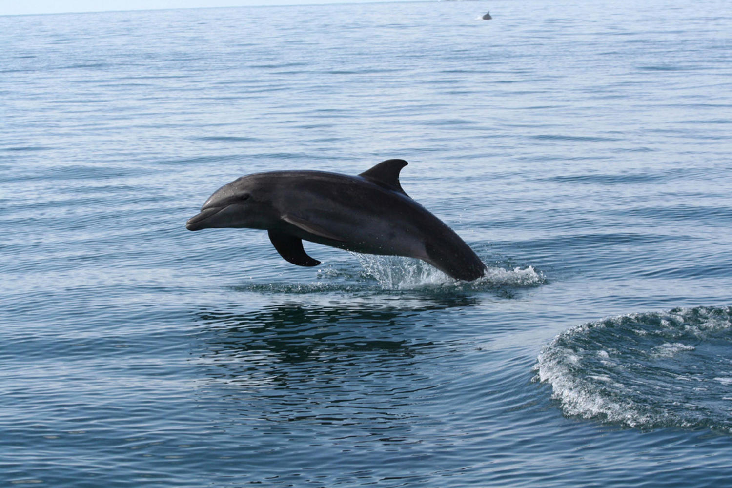 Dolphin leaping in the Pacific waters of Costa Rica