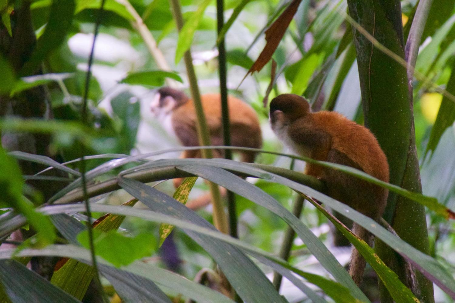 Titi Monkeys