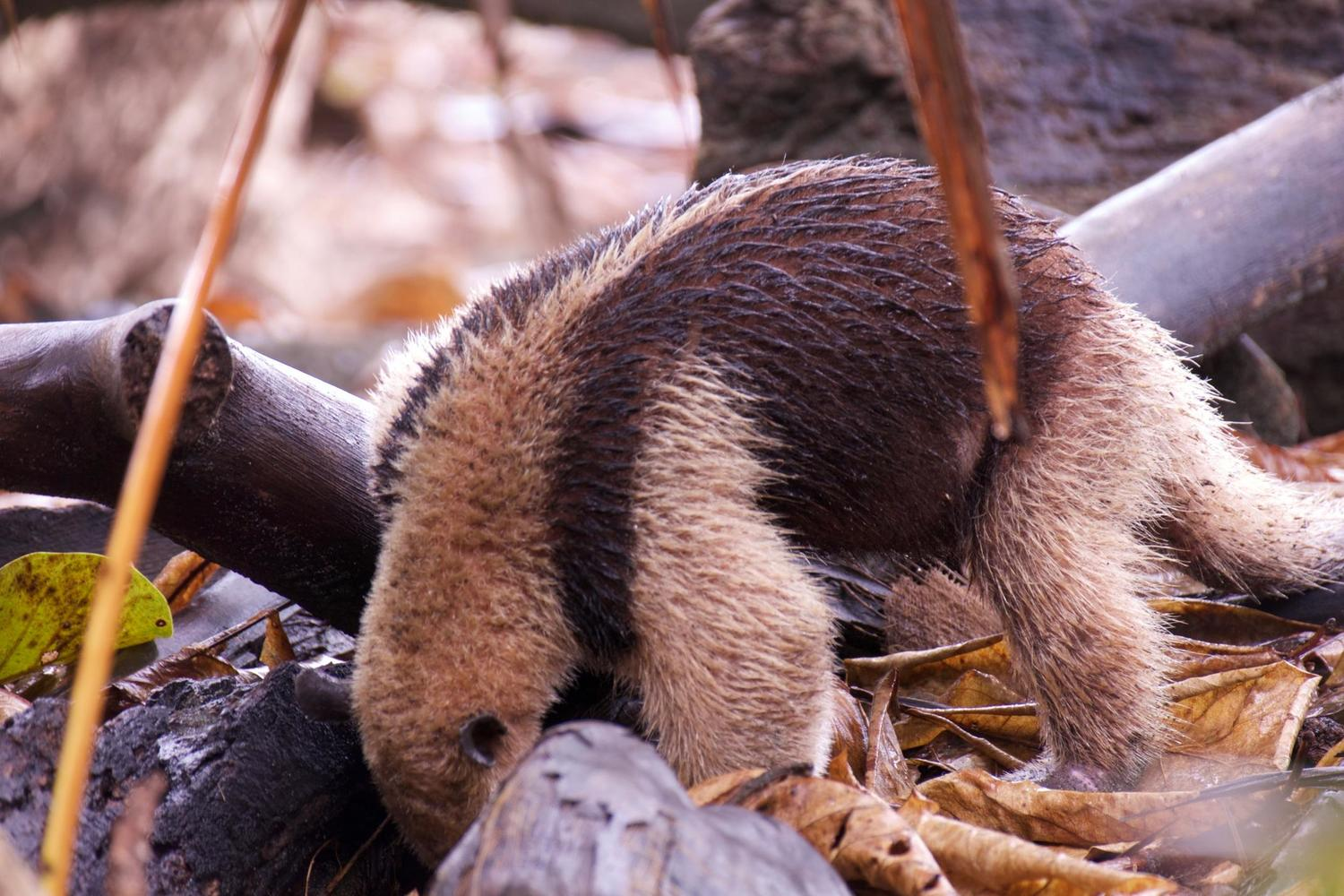 Anteater foraging in Corcovado National Park
