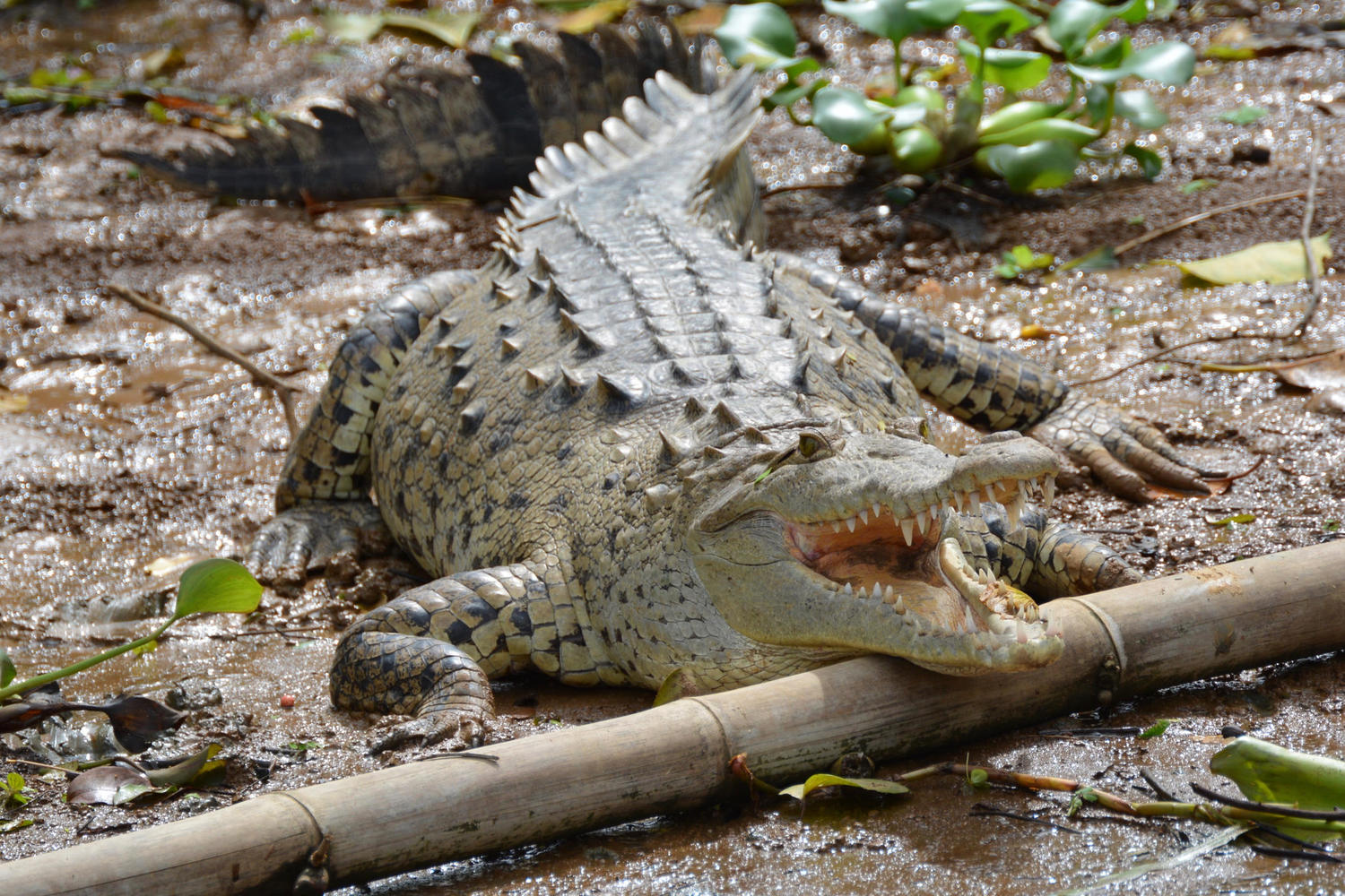 Crocodile on the banks of Sierpe River