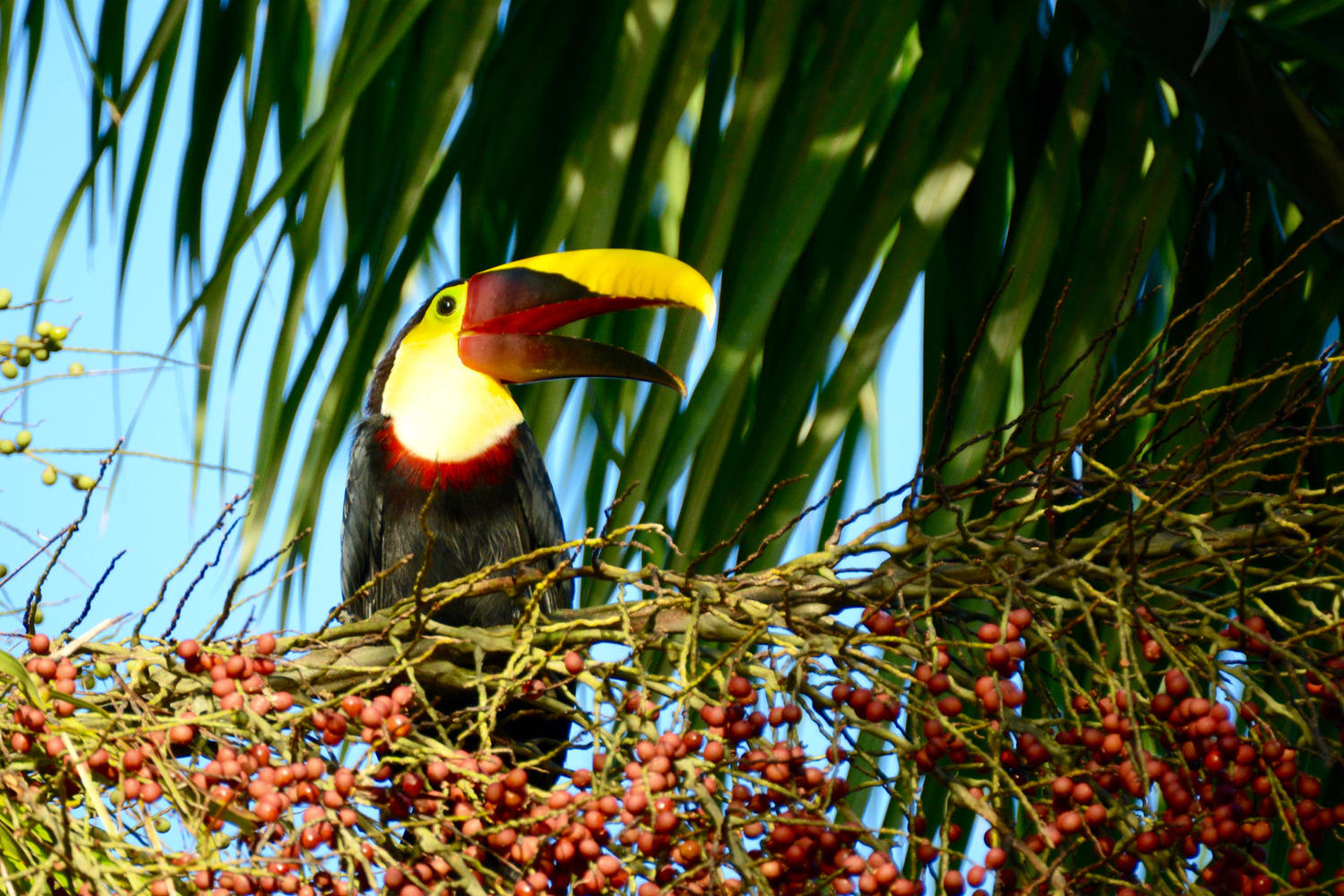 A laughing toucan in Corcovado National Park