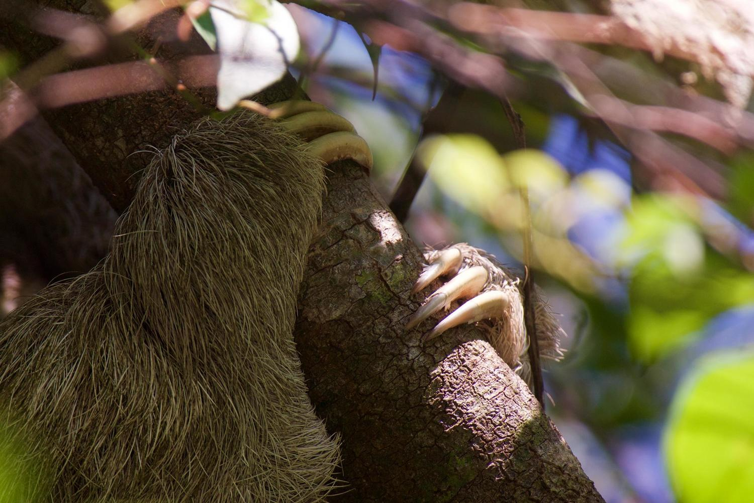 Sloth clinging on