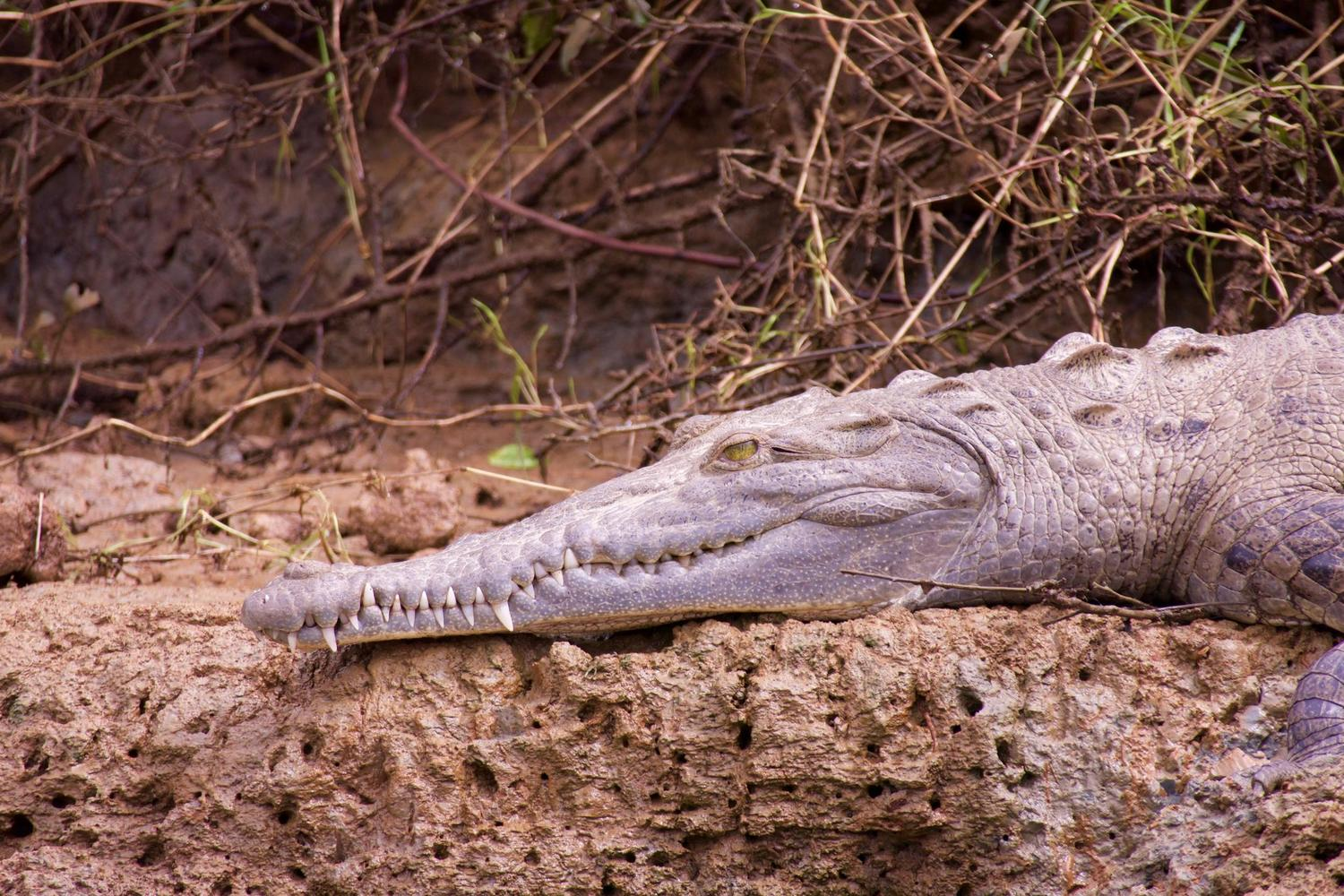 A crocodile basking on the banks of the Sierpe River