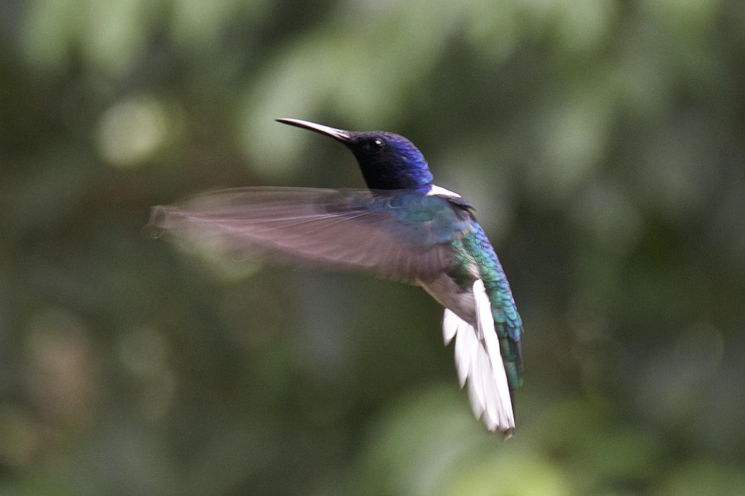 Blue chinned sapphire hummingbird on the fly in Turrialba