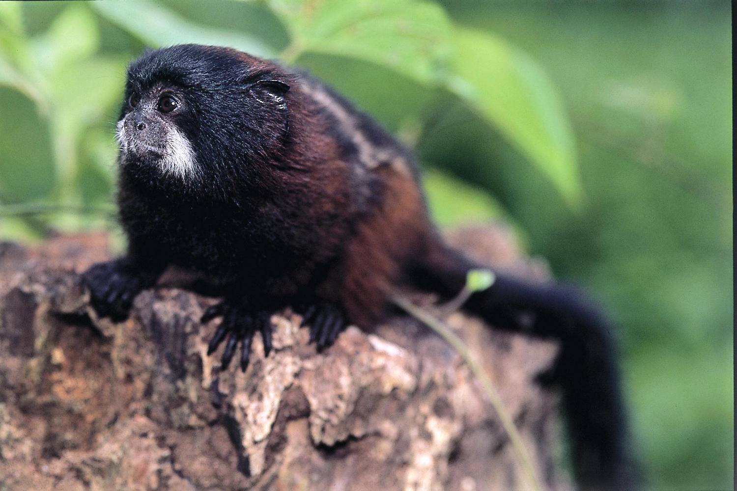 Marmoset in the Ecuadorian Amazon