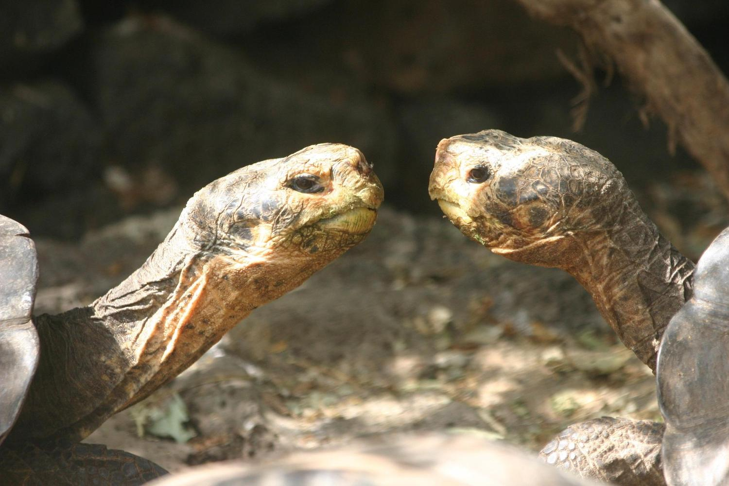 Female giant tortoises at the Darwin Research Centre in the Galapagos