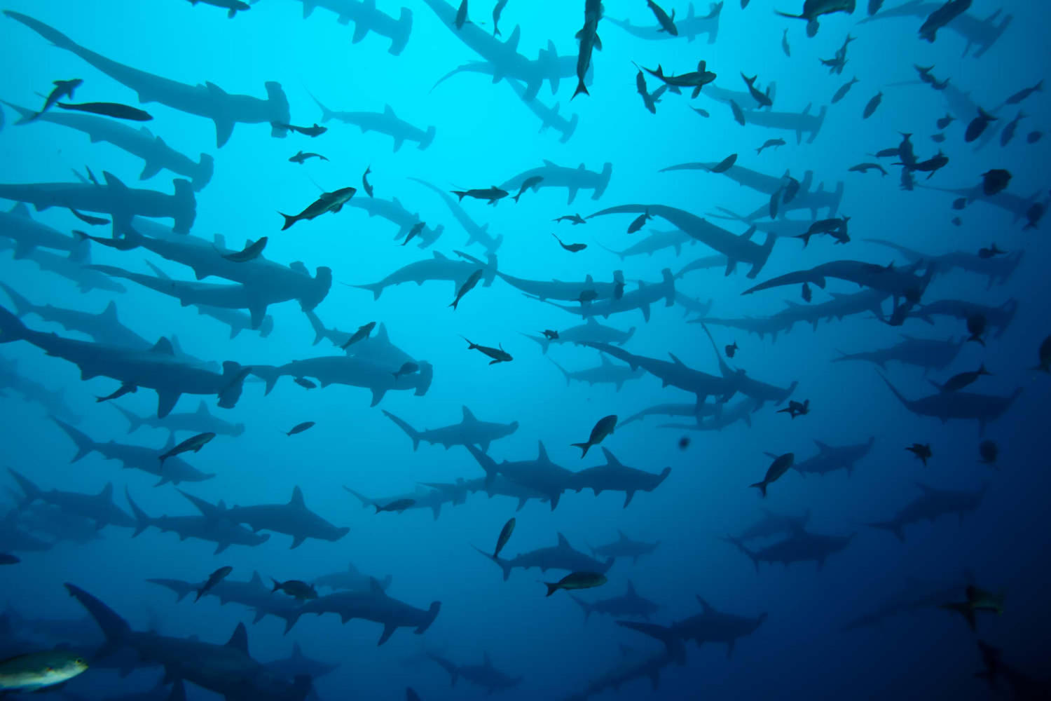 School of hammerhead in the Galapagos