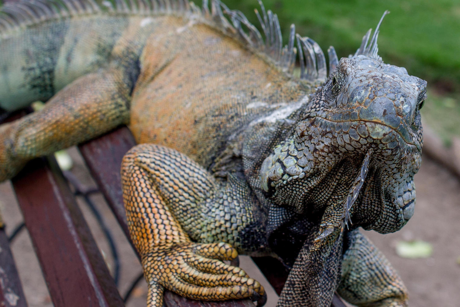 The Bolivar park in Guayaquil is home to a lot of iguanas