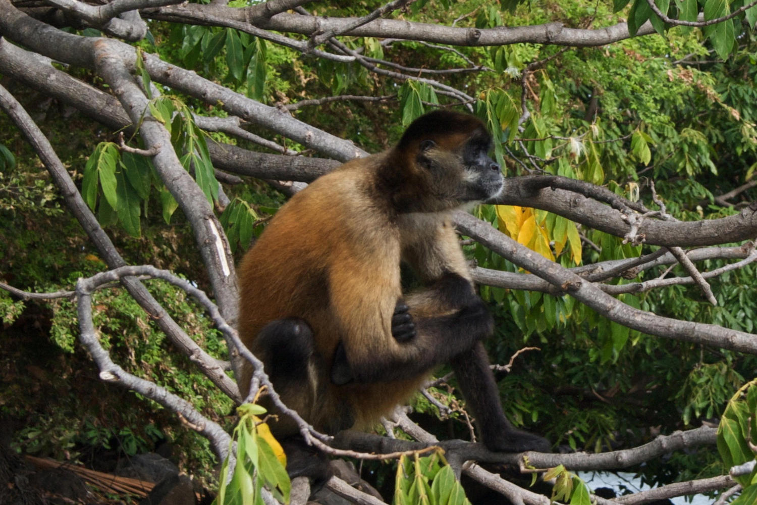 Monkey in the Isletas near Granada