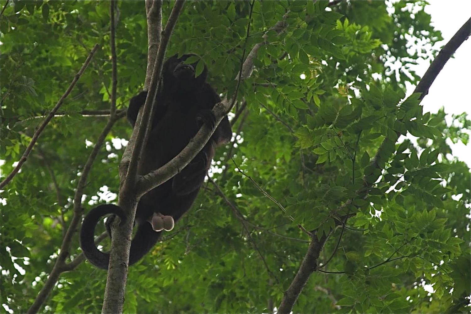 Inquisitive howler monkey  near Rio San Juan