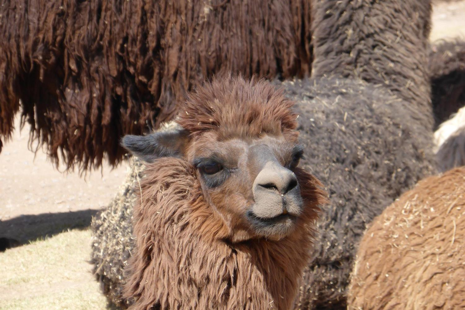 Visiting the hair-dos of the llama farm in the Sacred Valley