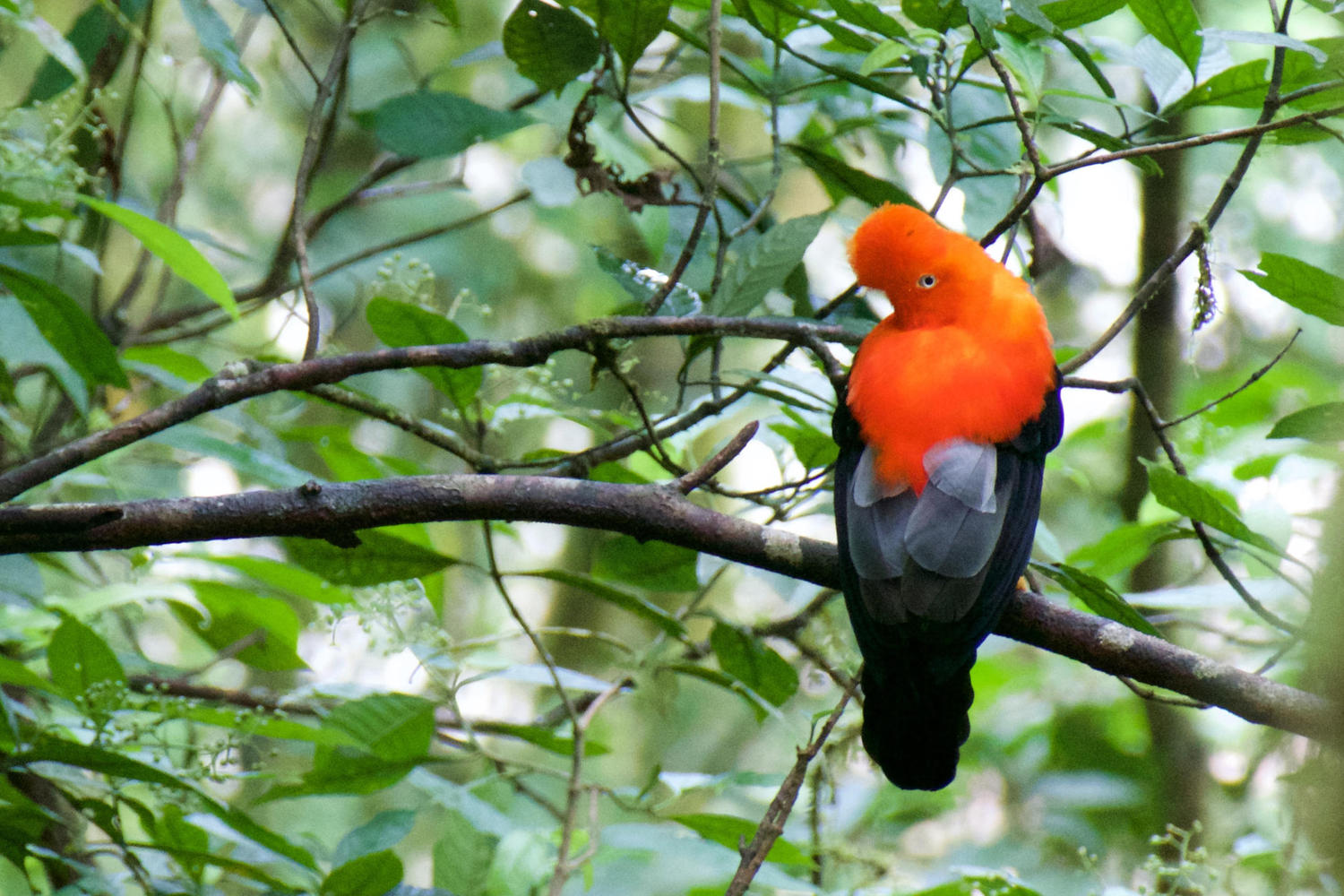 A Cock of the Rock bird in the Manu cloud forest