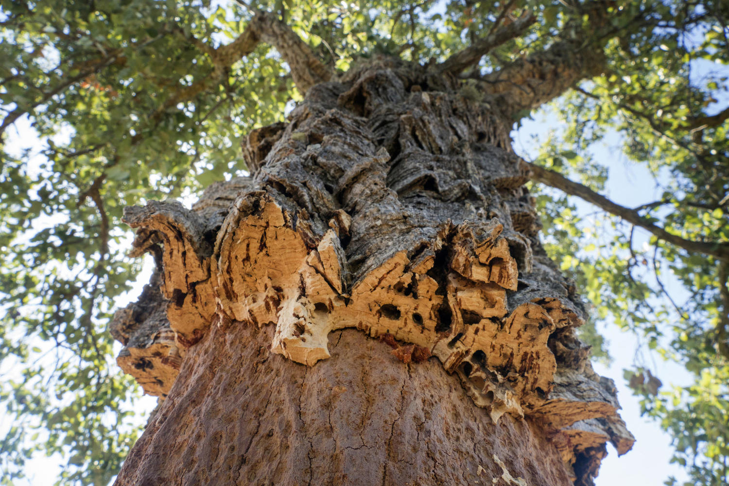 Close up of the Alentejo cork oak