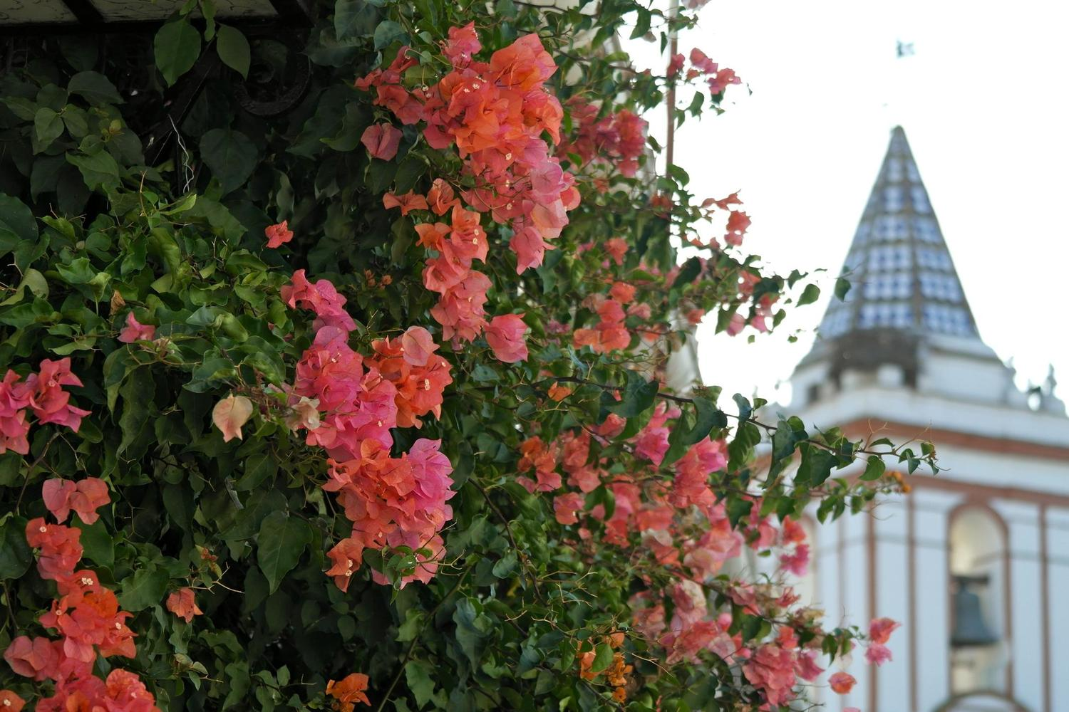 Flowers in the main square of Cortelazor