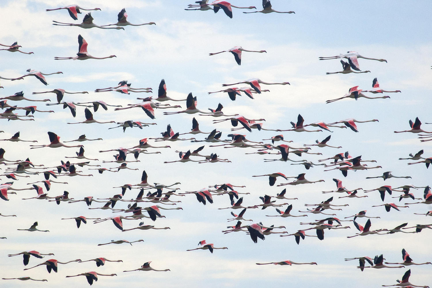 Flamingos flying over Doñana National Park
