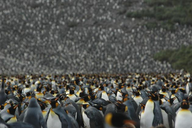 Antarctica-south-georgia-emporer-penguin-colony-copyright-one-ocean-expeditions