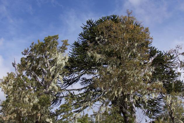 Chile-central-valley-nahuelbuta-national-park-araucaria-big-wisps