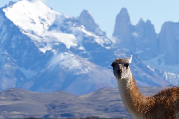 Chile-patagonia-torres-del-paine-guanaco-in-front-of-torres