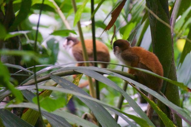 Costa-rica-osa-peninsula-bosque-del-cabo-titi-monkeys