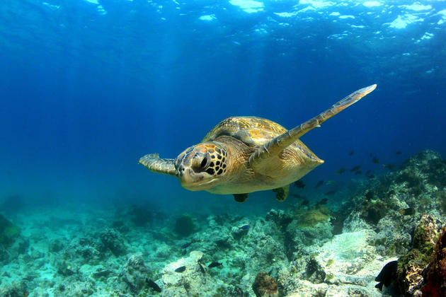 Ecuador-galapagos-islands-green-sea-turtle-swimming-underwater