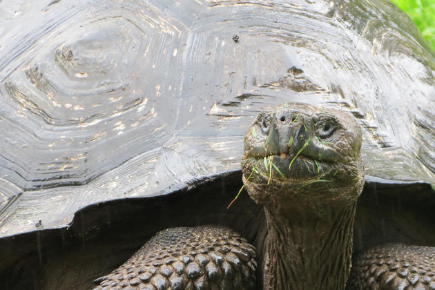 Ecuador-galapagos-islands-santa-cruz-giant-tortoise-grassy-nose-flipped