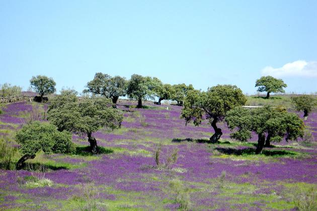 Spain-andalucia-aracena-purple-flowers-dehesa