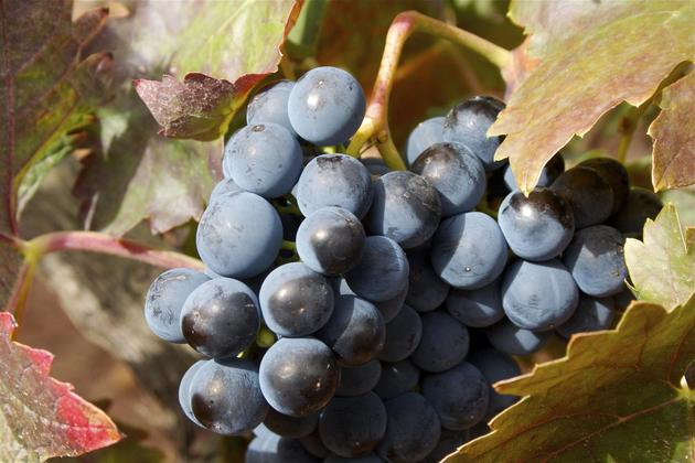 Spain-rioja-grapes-on-vine