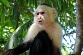 Costa-rica-manuel-antonio-white-faced-cappucin-monkey-pursed-lips-copyright-alison-thomas