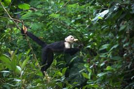 Costa-rica-san-gerardo-cloudforest-white-faced-cappucin-monkey