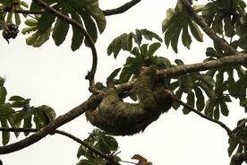 Costa-rica-three-toed-sloth-mouldy-in-tree